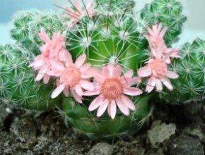 О полезных свойствах кактуса